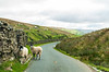 Pair of Swaledale Sheep on Stonesdale Ln in West Stonesdale - Muker, North Yorkshire, England, UK