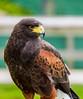 Skylar (Harris Hawk) @ Tamar Otter & Wildlife Centre - Launceston, Cornwall, England, UK
