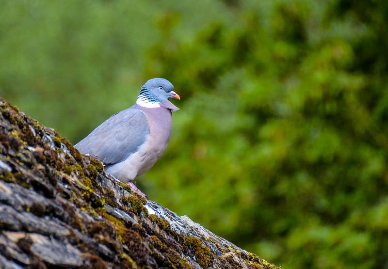 Common Wood Pigeon - Bibury, Gloucestershire, England, UK
