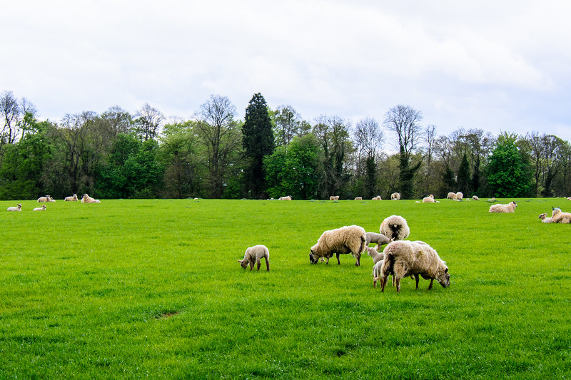Flock of Sheep - Bourton-on-the-Water, England, UK