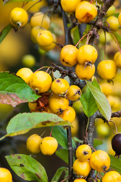 Fall berries - Keswick