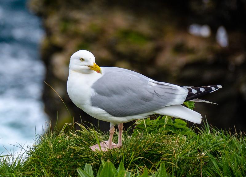 Common Gull - Port Isaac, Cornwall, England, UK
