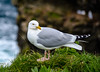 Common Gull - Port Isaac, Cornwall, England, UK