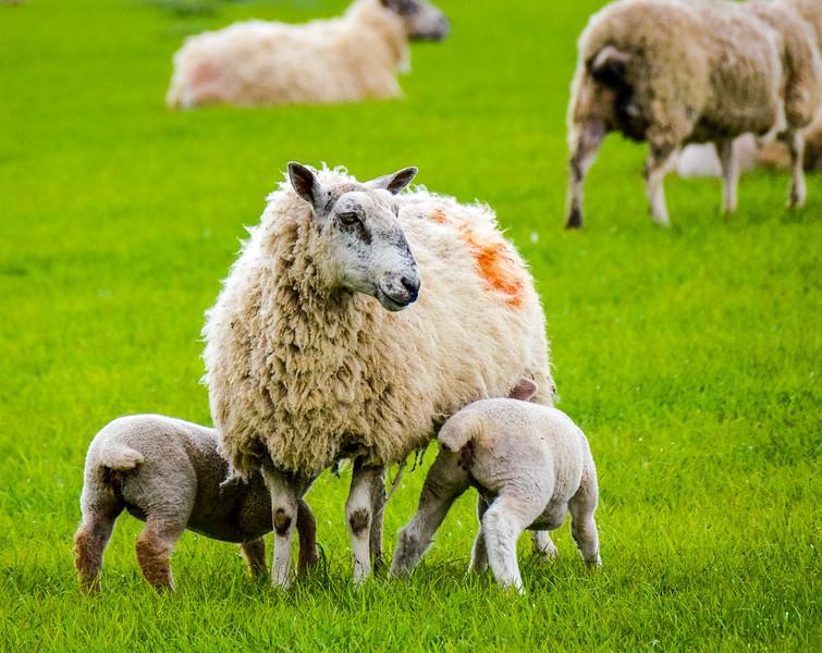 Ewe and her Lambs - Bourton-on-the-Water, England, UK