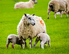 Ewe and her Lambs - Bourton-on-the-Water, England, UK