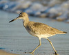 Willet Strut - Gulf Shores, AL