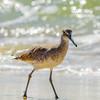 Willet Posing 2 - Gulf Shores, AL