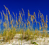 Sea Oats & Dune @ Fort Morgan Beach, Gulf Shores, AL