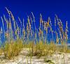 Sea Oats & Dune @ Fort Morgan Beach, Gulf Shores, AL