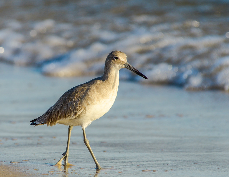 Willet Strolling By - Gulf Shores, AL
