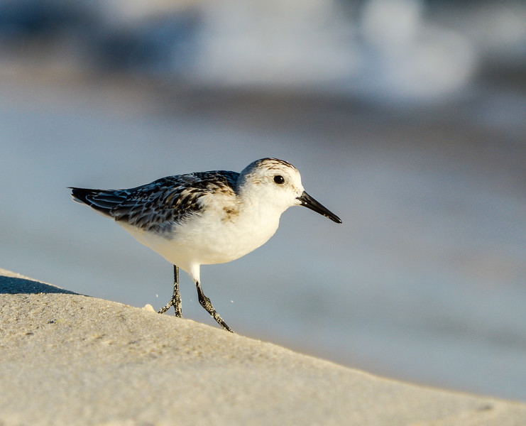 Sanderling on the Edge - Gulf Shores, AL