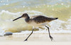 Willet Jogging - Gulf Shores, AL