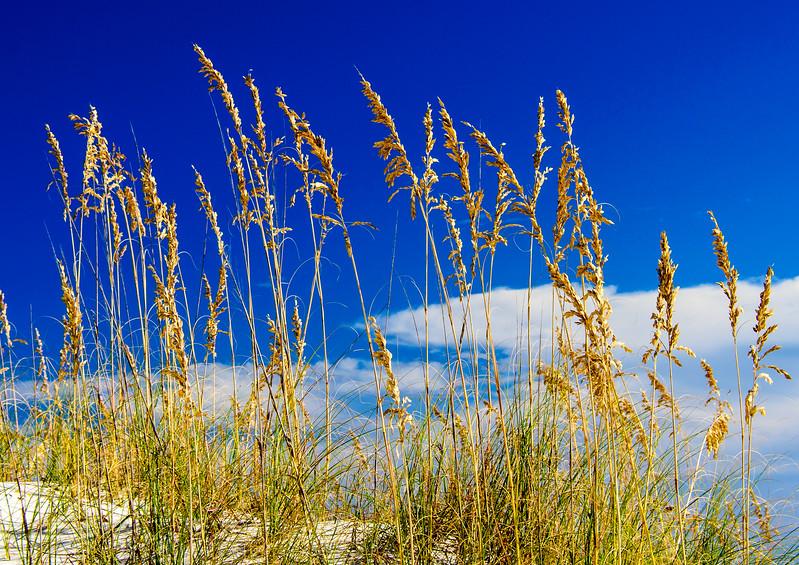 Sea Oats @ Fort Morgan Beach, Gulf Shores, AL