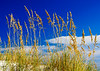 Sea Oats @ Fort Morgan Beach, Gulf Shores, AL
