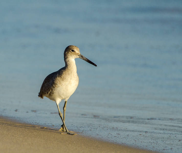 Walking Willet - Gulf Shores, AL