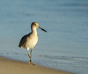 Walking Willet - Gulf Shores, AL