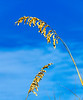 Sea Oats II @ Fort Morgan Beach, Gulf Shores, AL