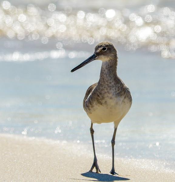 Willet Posing - Gulf Shores, AL