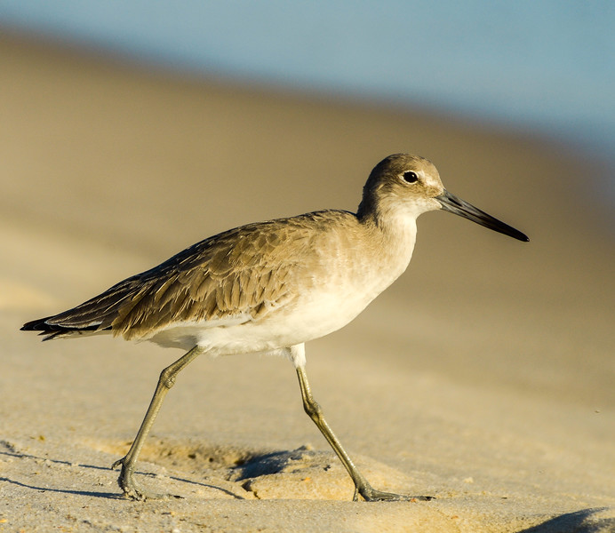 Willet Walking - Gulf Shores, AL