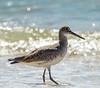 Willet Wading 2 - Gulf Shores, AL