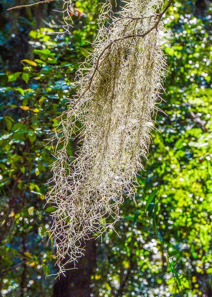 Spanish Moss @ Torreya State Park, Bristol, FL