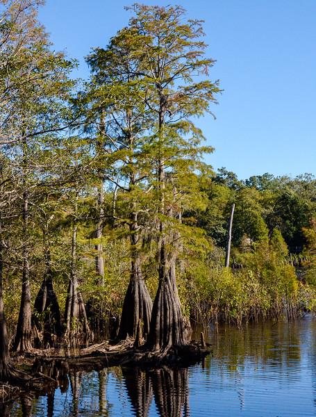 Bald Cypress @ Dead Lakes State Recreation Area - Wewahitchka, FL