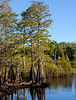 Bald Cypress @ Dead Lakes State Recreation Area - Wewahitchka, FL