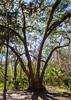 Octopus-like Tree @ Wormsloe Historic Site - Savannah, GA