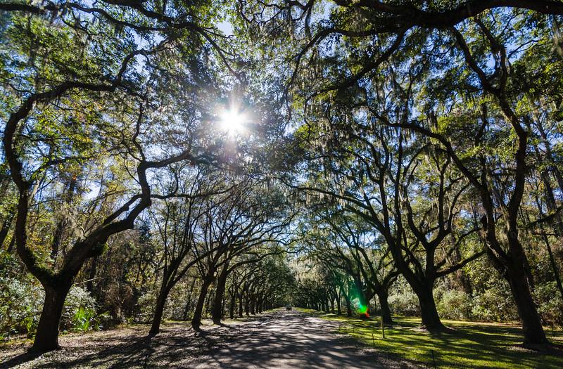 Live Oak avenue @ Wormsloe Historic Site - Savannah, GA