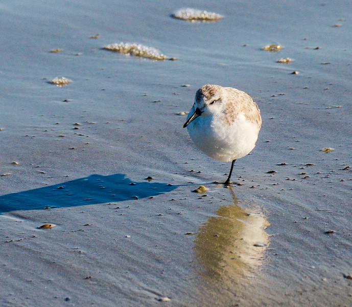 Sanderling Standing on One Leg @ South Dunes Picnic Area - Jekyll Island, GA
