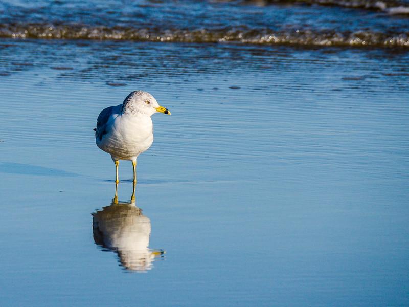 Ring-billed Gull - Jekyll Island, GA