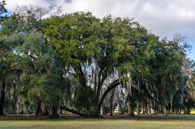 Live Oak with Spanish Moss - Liberty County, GA