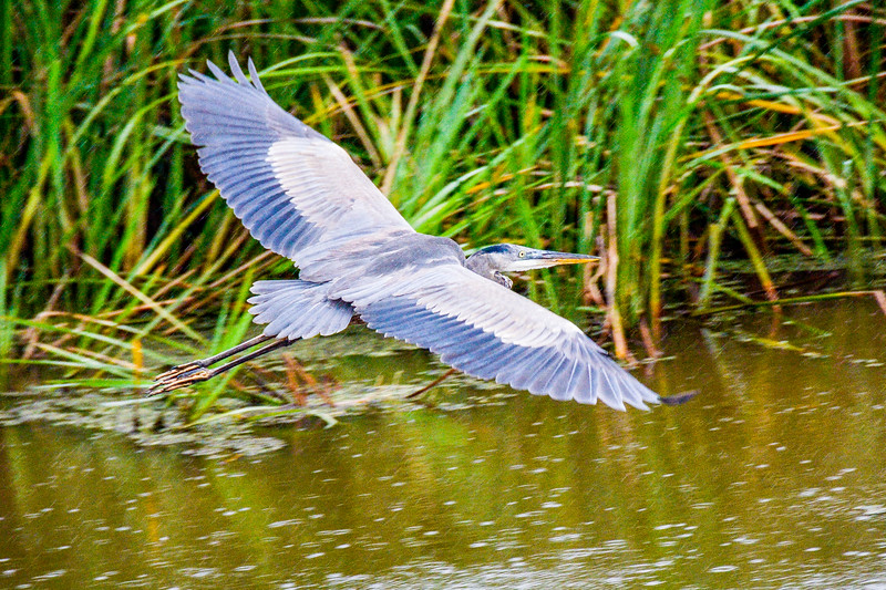Great Blue Heron in Rain @ Savannah National Wildlife Refuge - Savannah, GA