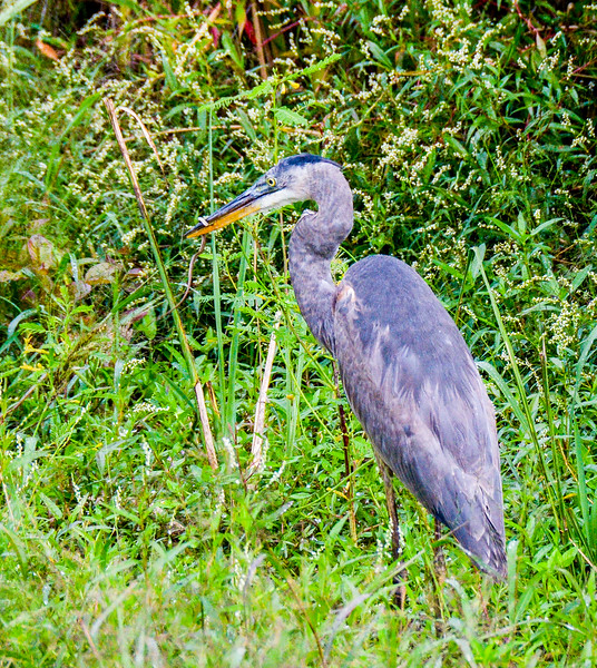 Great Blue Heron & Snake @ Savannah National Wildlife Refuge - Savannah, GA