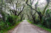 Live Oak Canopy @ Savannah National Wildlife Refuge - Savannah, GA