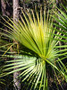 Saw Palmetto Palm @ Skidaway State Park on Skidaway Island - Savannah, GA