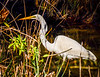 Great White Egret Fishing @ Skidaway State Park on Skidaway Island - Savannah, GA