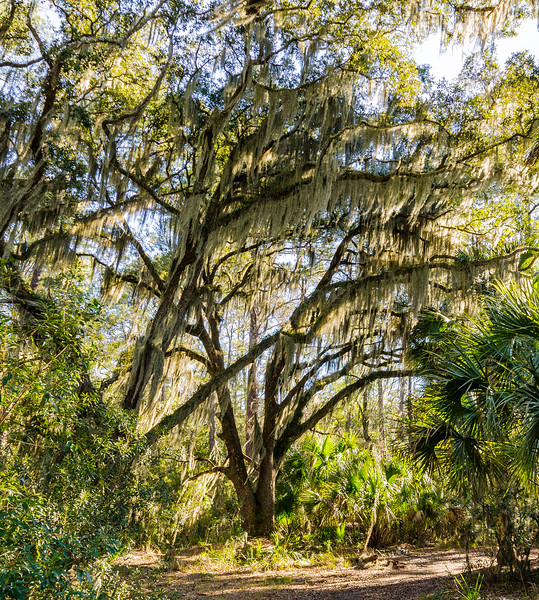 Live Oak & Spanish Moss @ Skidaway State Park on Skidaway Island - Savannah, GA