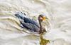 juvenile Double-crested Cormorant - St Simons Island, GA