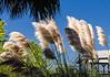 White Pampas Grass - Tybee Island, GA