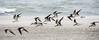 Black Skimmers - Tybee Island, GA