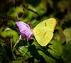 adult female Cloudless Sulphur butterfly I - Tybee Island, GA