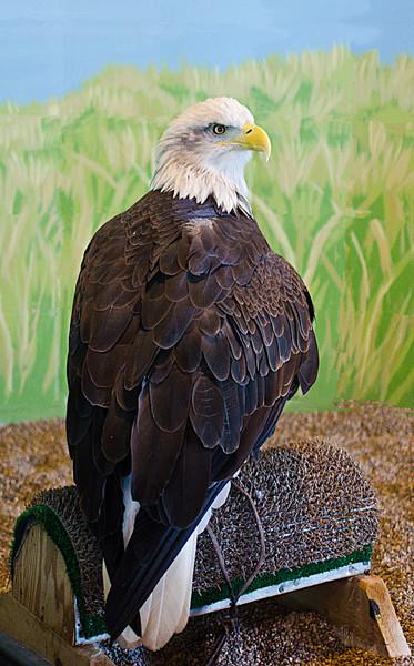 Live Bald Eagle