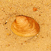 Sea Shell 1 - Avon, NC, USA