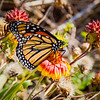 Migrating female Monarch Butterfly @ ORV Ramp 27 - Avon, NC