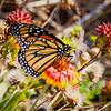 Migrating female Monarch Butterfly @ ORV Ramp 27 - Avon, NC