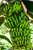 Dwarf Cavendish Banana in the Conservatory @ Biltmore Estate - Asheville, NC