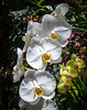 White Moth Orchid in the Conservatory @ Biltmore Estate - Asheville, NC