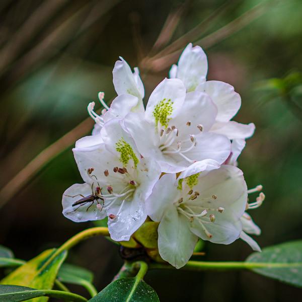 Rhododendron in the Azalea Garden @ Biltmore Estate - Asheville, NC
