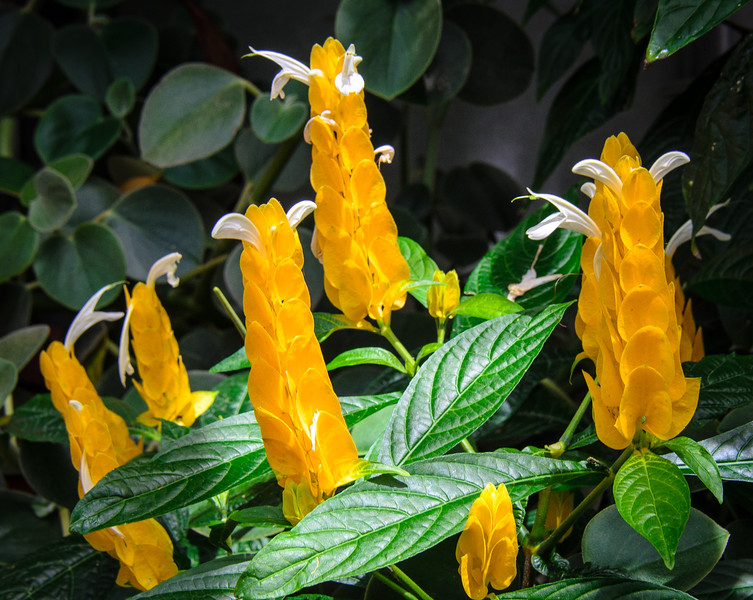 Shrimp Plant in the Conservatory @ Biltmore Estate - Asheville, NC